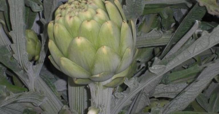 Fotografía de Benicarló: Las alcachofas, hortaliza popular de Benicarló